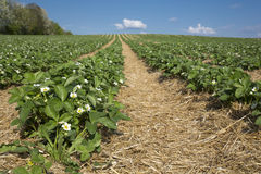 Blooming strawberry field Stock Photos