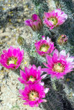 Blooming Strawberry Hedgehog Cactus (Echinocereus engelmannii) i Royalty Free Stock Image