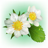 Blooming strawberry with leaves. Realistic illustration Stock Photography