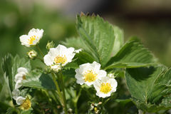 Blooming strawberry plant. Strawbery plant with several blossoms Stock Photo