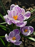 Blooming striped crocuses. Striped crocuses blossoms in a garden in the spring Stock Photo