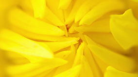 Blooming summer flower macro stock video footage
