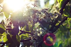 Blooming and sun flare. Close up of fruit tree blossom in the sun with flare Royalty Free Stock Photo