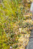 Blooming sundew plant in Obary peat bog Royalty Free Stock Photography