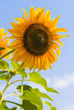 Blooming Sunflower Stock Photography