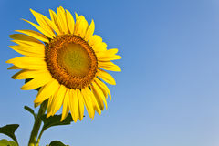 Blooming sunflower. In the blue sky background Royalty Free Stock Photos