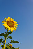 Blooming sunflower. In the blue sky background Stock Photos