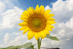 Blooming sunflower Royalty Free Stock Image