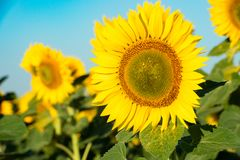 Blooming sunflower on agricultural background. Isolated focus. C. The Blooming sunflower on agricultural background. Isolated focus. Close-up Stock Photography