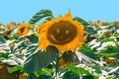 Blooming of sunflower Royalty Free Stock Photo