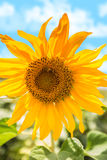 Blooming of sunflower Royalty Free Stock Photos