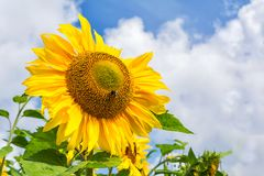 Blooming sunflower with bee, close up Stock Photos