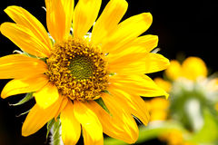 Sunflower on black background. Blooming Sunflower on black background stock images