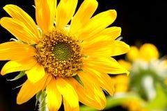 Sunflower on black background Stock Images