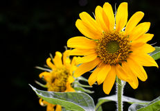 Sunflower on black background. Blooming Sunflower on black background royalty free stock photo