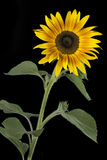 Blooming sunflower Stock Image
