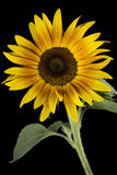Blooming sunflower Stock Photo