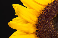 Blooming sunflower on black  background, close up Royalty Free Stock Photo