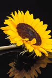 Blooming sunflower on black  background with reflection Stock Images