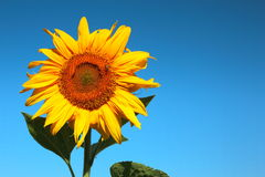 Blooming sunflower Stock Images