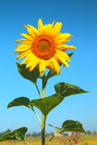 Blooming sunflower Royalty Free Stock Photo