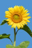 Blooming sunflower in the blue sky background Royalty Free Stock Photo
