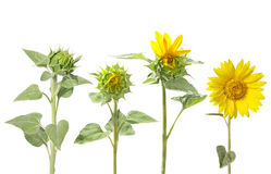 Blooming of sunflower from bud to beautiful flower Royalty Free Stock Image
