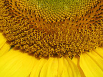 blooming sunflower Stock Photos