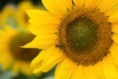 Blooming sunflower close up Royalty Free Stock Image