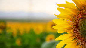 Blooming sunflower close up royalty free stock photos