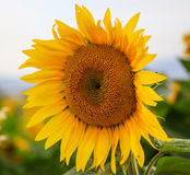 Blooming sunflower close up royalty free stock photography