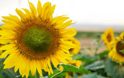 Blooming sunflower close up royalty free stock photo