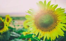 Blooming sunflower close up royalty free stock images