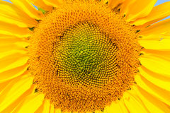Blooming sunflower close-up view, helianthus background. Royalty Free Stock Photos