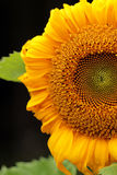 Blooming Sunflower closeup  on black background. Blooming Sunflower closeup  on blurred background Royalty Free Stock Photo