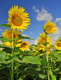 Blooming sunflower field Royalty Free Stock Photo
