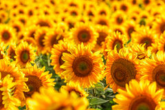Blooming sunflower. Stock Images