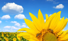 Blooming sunflower field with bee Stock Image