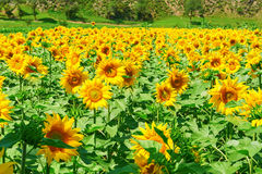 The blooming sunflower field Royalty Free Stock Photo