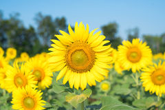 Blooming sunflower. Field of plenty colorful blooming sunflowers Stock Image