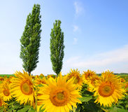 Blooming sunflower field with poplars in sunny day. Royalty Free Stock Photos