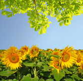 Blooming sunflower field Stock Photography