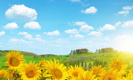 Blooming sunflower field Royalty Free Stock Image