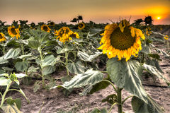 Blooming sunflower field at sunset Royalty Free Stock Images