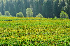 The blooming sunflower field and trees Royalty Free Stock Photo
