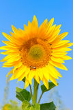 Blooming sunflower in the field under blue sky, bee collects pollen, organic background. Stock Images