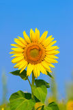 Blooming sunflower in the field under blue sky, bee collects pollen, organic background. Royalty Free Stock Images