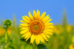 Blooming sunflower in the field under blue sky, bee collects pollen, organic background. Stock Photo