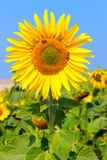 Blooming sunflower in the field under blue sky, bee collects pollen, organic background. Royalty Free Stock Photography