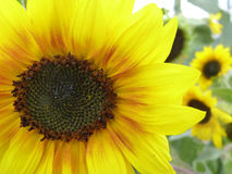 Blooming Sunflower in Garden. Blooming yellow sunflower in garden Royalty Free Stock Photos